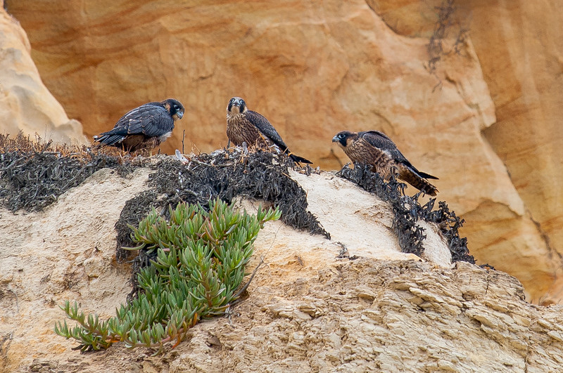 Immature Anatum Peregrine Falcons (in nest) Torrey Pines State Reserve, San Diego, CA June 2010
