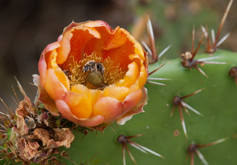 Prickly Pear Cactus Flower & Bee