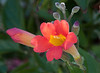 Trumpet Vine Flowers
