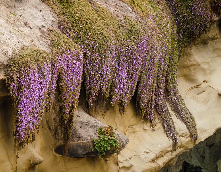 Ice Plant on Eroded Sandstone, La Jolla