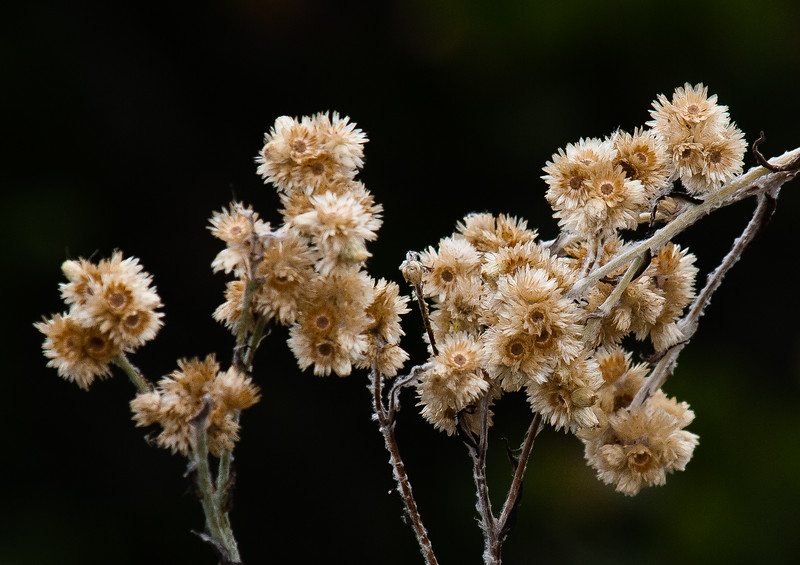 Dried Flowers, Point Loma