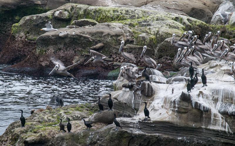 Cormorants & Pelicans, La Jolla