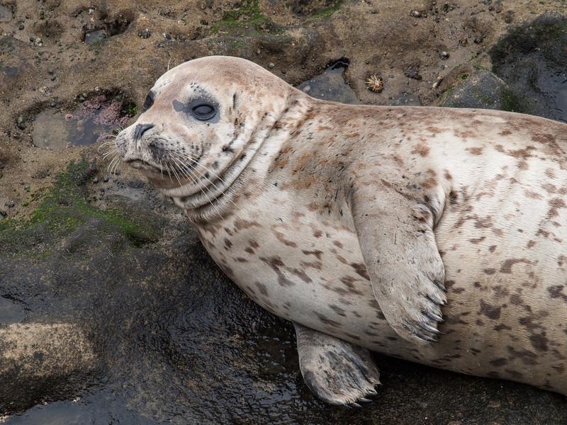 Harbor Seal, La Jolla