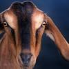 Nubian Goat<br /> San Diego County Fair