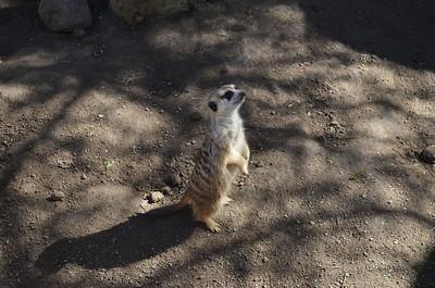 Meercat Lookout
