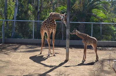 Giraffe & Newborn