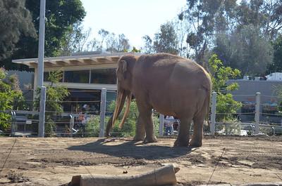San Diego Zoo Elephant