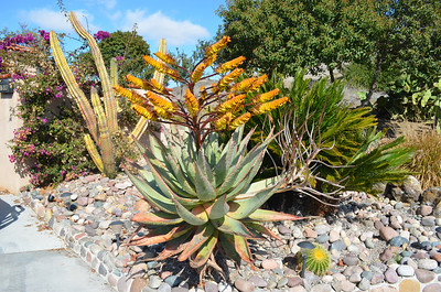 Aloe in Full Bloom on our Street