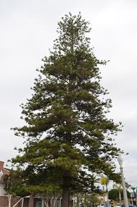 Huge Star Pine