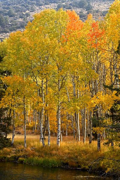 Aspen grove, Rush Creek, October 2020, June Lake loop