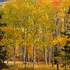 Aspen grove, Rush Creek, October 2020, June Lake loop