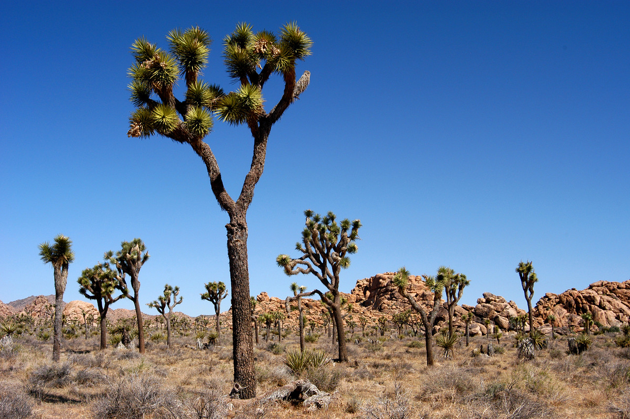 Joshua Tree forest in Joshua Tree National Park, California.