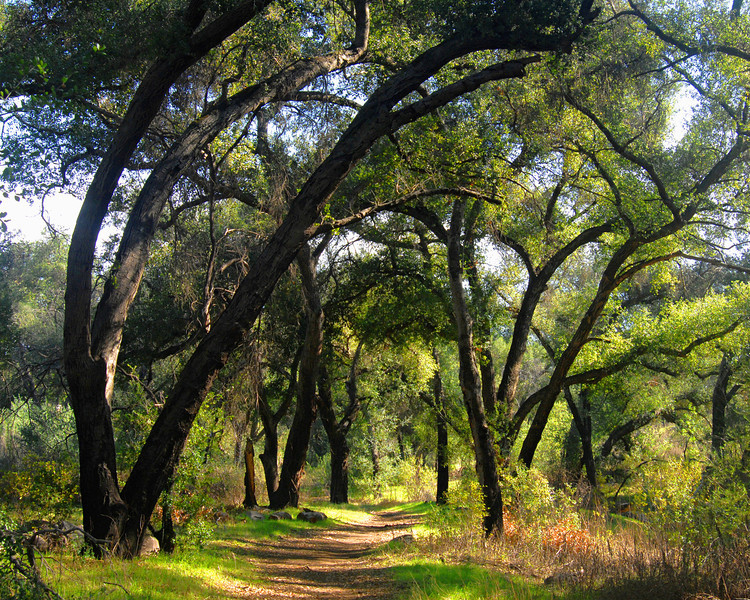 Trail through the oaks near Ramona, Ca.  Horizontal view