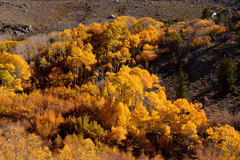 Fall Aspen, Bishop Creek Canyon, Eastern Sierra, California