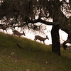 Three deer in the rolling hills of California's central coast, near San Luis Obispo.