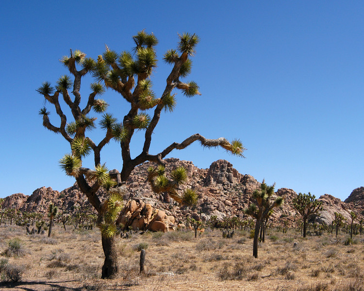 Large joshua tree and rock formations in Joshua Tree National Park, California.