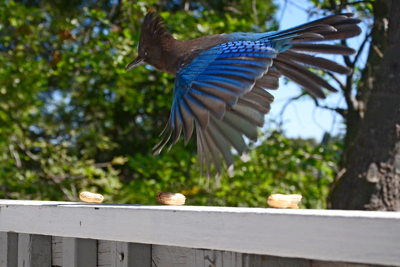 Blue Jay ready to snatch peanut in Crestline, CA