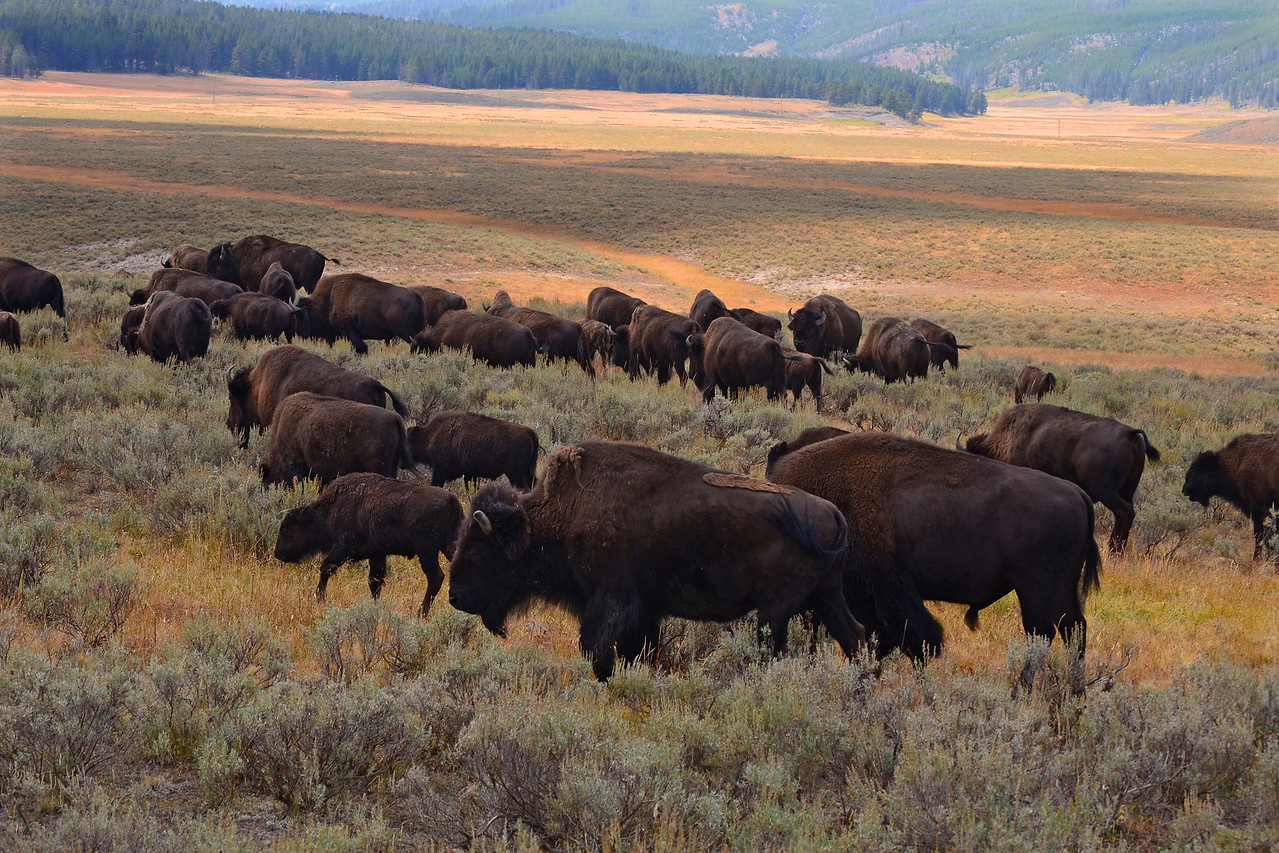 Part of the Hayden Valley buffalo herd in Yellowstone National Park.