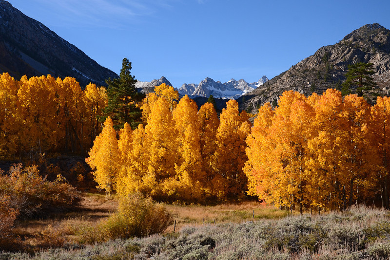 Fall Aspens near North Fork Bishop Creek, Eastern Sierra, California.