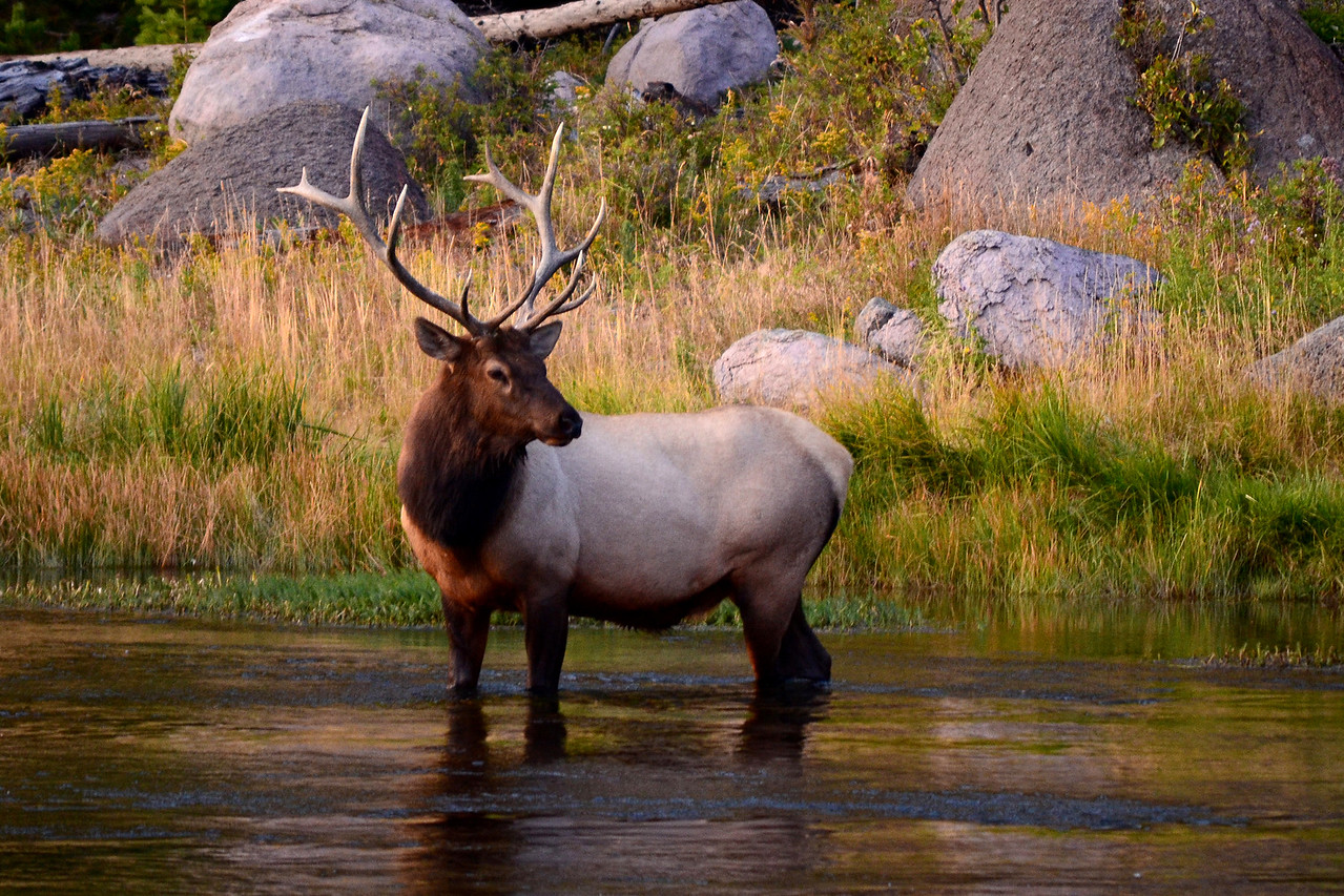 Bull Elk in the Madison River, Yellowstone National Park