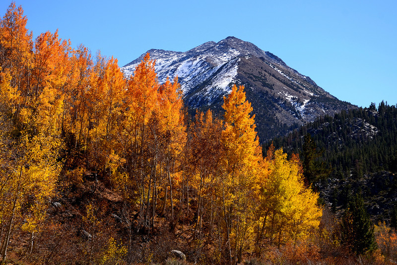 Fall Aspens in Bishop Creek Canyon, Eastern Sierra, California.