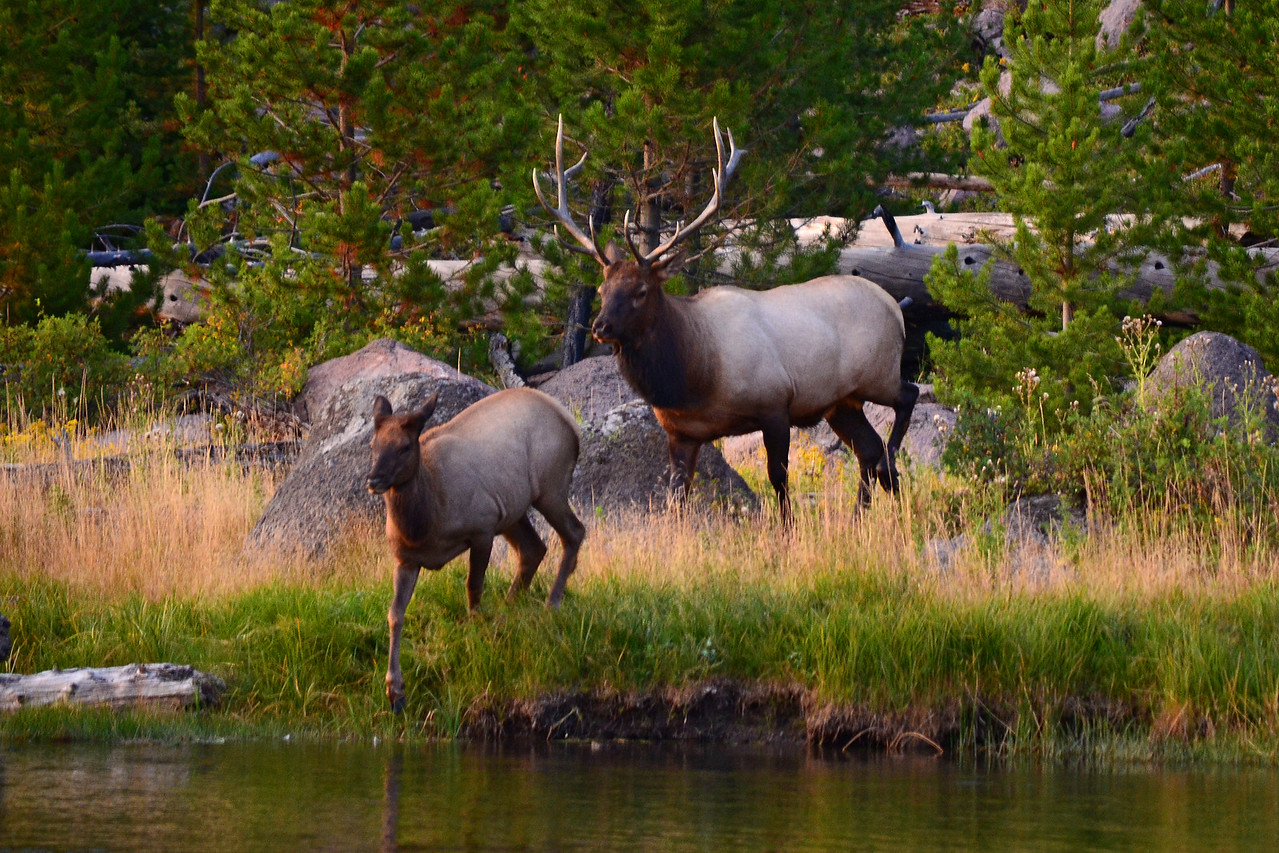 Elks in Yellowstone National Park about to cross the Madison River.