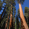 Giant Sequoias in Sequoia National Park, California.