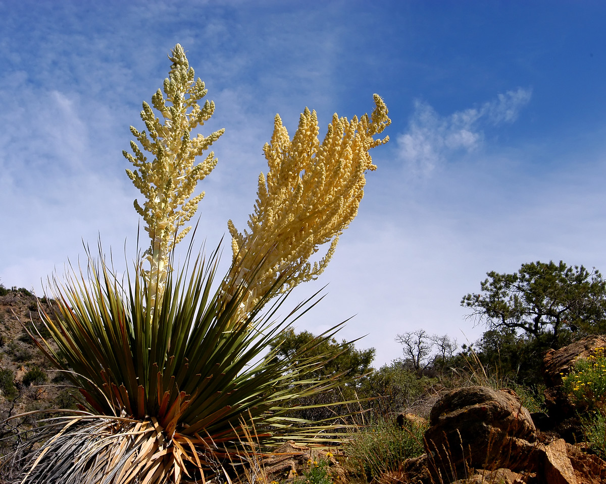 Yucca tree blooms along the trail in Joshua Tree National Park.