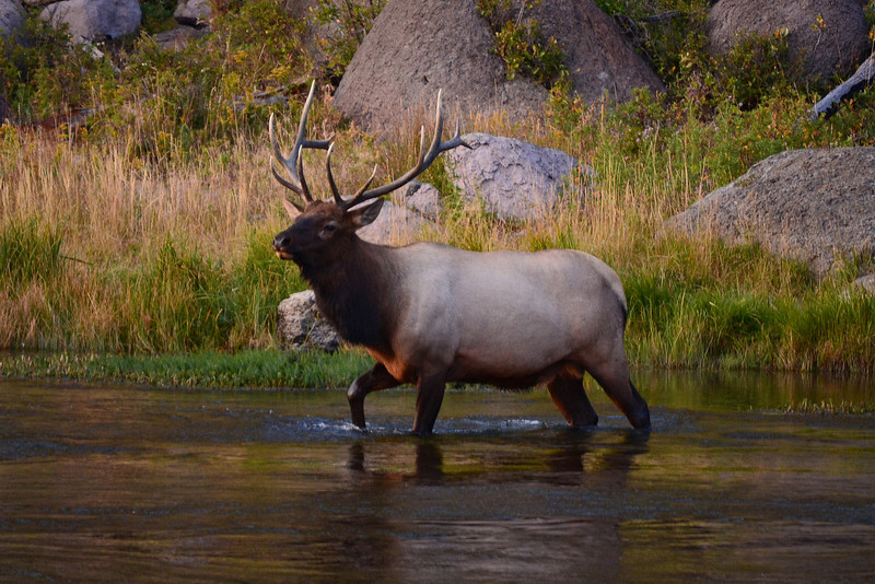 Elk crossing the Madison River in Yellowstone National Park.