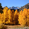 Fall Aspens in Bishop Creek Canyon in the Eastern Sierras of California.