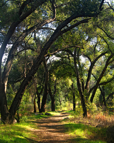 Trail through the oaks near Ramona, Ca.  Vertical view