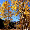 Aspens in fall in the Eastern Sierra near Sabrina Lake in Bishop Creek Canyon.
