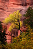 Fall Color and red cliffs along the Taylor Creek trail in Zion National Park.