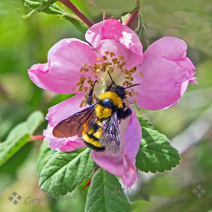 Bumblebee in Wild Rose