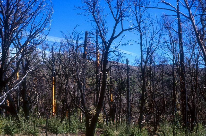 Burned trees in Cuyamaca Rancho State Park from the wild fire in 2003