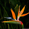 Bird of Paradise flower is very common in the San Diego area.