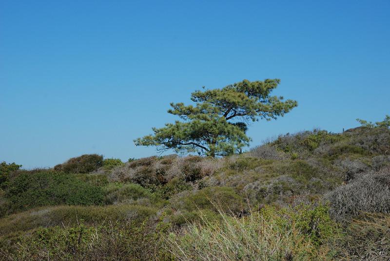 #128 Lone Torrey Pine