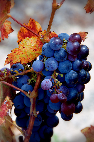 #117 Autumn Grapes, Temecula Valley, San Dieog