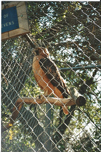 3/8/98 Red-Tailed Hawk at the wildlife rehab center. San Dimas Canyon Nature Center.