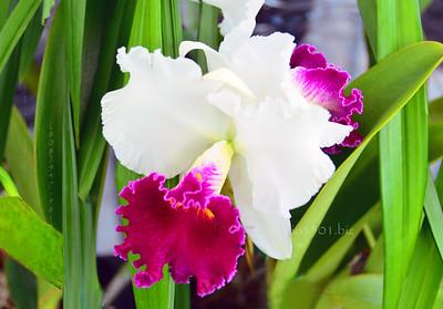 white purple orchid Fr Mason 37