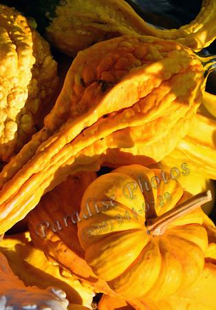 gourds squash SF 1011 226