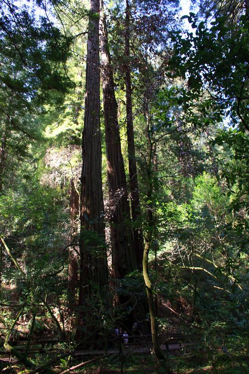 MuirWoods_CA_03 27 2010_028
