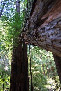 MuirWoods_CA_03 27 2010_057