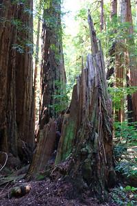 MuirWoods_CA_03 27 2010_051