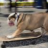 Skateboarding dog!!!