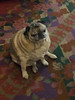 Pug in my hotel lobby - fuckin' thing had a rash on its face that made it break dance in circles.