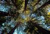 Redwoods at Muir Woods