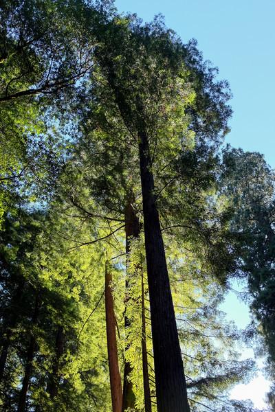 Redwood in Muir Woods