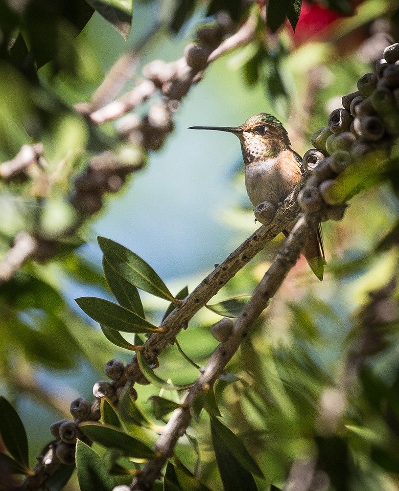 Hummingbird at the Audubon Canyon Ranch
