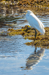 Snowy Egret at Point Lobos